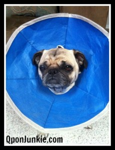 Puggy Cone of Shame
