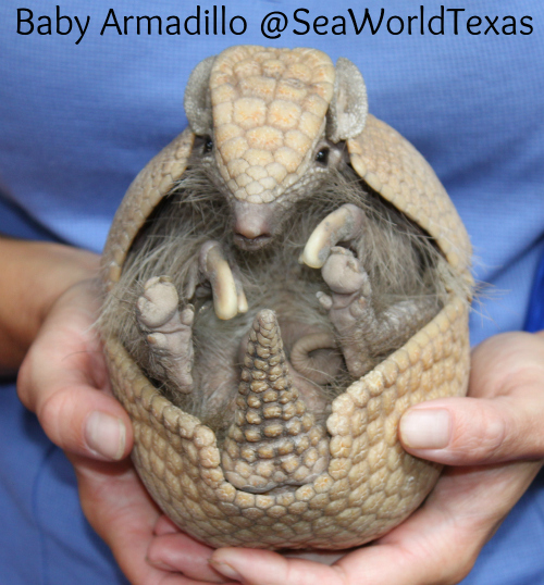 Baby Armadillo SeaWorldTe