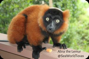 Sea World Texas Lemur